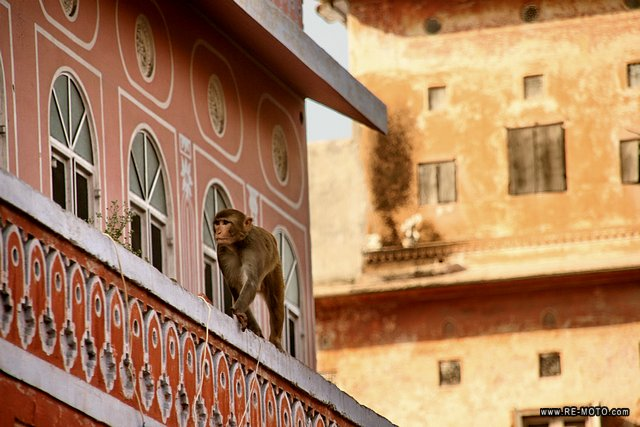 Monkeys are sacred animals in India.